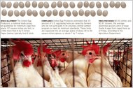 Something to Cluck About – A Bill Endorsed by Egg Producers and Animal Campaigners
