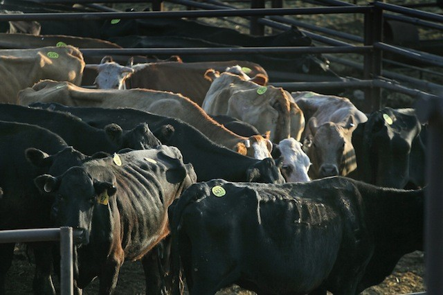 Livestock Liquidation: Extreme Drought Forces Ranchers to Sell Herds