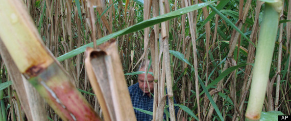 Arundo Donax, Or 'Giant Reed,' Could Be The Next Miracle For Renewable Energy