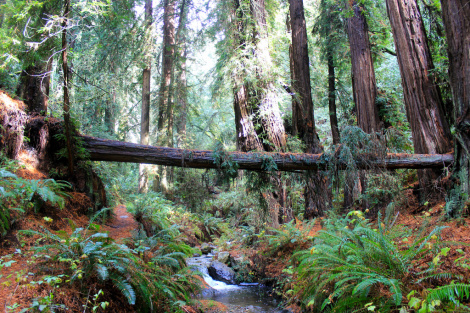Could clones save California's endangered redwoods — in Oregon?