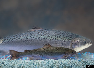 Aquabounty, GMO Salmon Company, Struggling To Stay Afloat